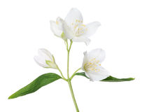 Isolated beautiful jasmine branch Royalty Free Stock Photos