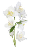 Isolated beautiful jasmine seven flowers Royalty Free Stock Images