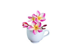 Isolated beautiful pink white yellow frangipani or plumeria bunch in big white cup Royalty Free Stock Photos