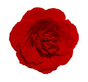 Isolated beautiful red rose on white background. Blossom closeup flower Royalty Free Stock Photo