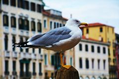 Isolated beautiful seagull in Venice, Italy Royalty Free Stock Images