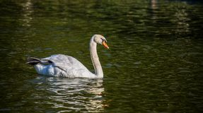 Beautiful swan swimmung in the pond. stock image