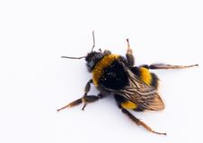 Isolated bee Royalty Free Stock Image