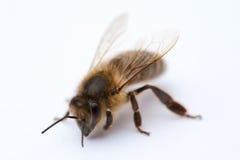 Isolated Bee Stock Photography