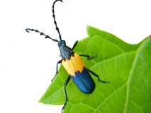 Isolated beetle on leaf. Macro of black and yellow beetle with white background Royalty Free Stock Photo