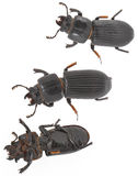 Isolated Beetles Royalty Free Stock Image