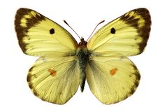 Isolated Berger's Clouded Yellow butterfly Royalty Free Stock Photo