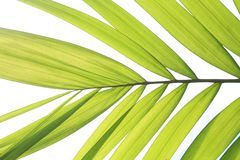 Isolated betel palm leaf Stock Photo
