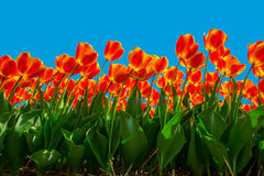Isolated Bicolor Tulips Stock Image