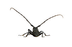 Isolated Big Black Bug. Close up shot of a big black insect in daylight and Isolated by Adobe Photoshop stock photography