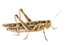 Isolated of big Grasshopper Royalty Free Stock Image
