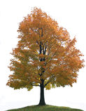 Isolated Big Lone Maple Tree royalty free stock photos