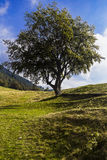 Isolated big tree in the mountains Stock Image