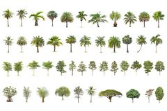 Isolated big tree on White Background. The collection of trees. Tropical trees isolated used for design, advertising and architecture royalty free stock photos
