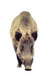 Isolated big wild boar Royalty Free Stock Images