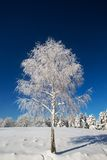 Isolated birch tree covered with fresh snow Royalty Free Stock Photos