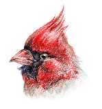 Isolated bird colored pencil drawing. Red northern cardinal bird portrait pencil sketch Royalty Free Stock Photos