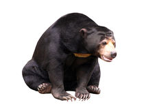 Isolated black bear. Isolated a black bear in sitting position Stock Photography