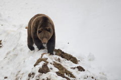 Isolated black bear brown grizzly walking on the snow. In winter time royalty free stock images