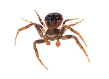 Isolated black and brown spider Stock Images