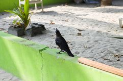 Isolated black crow on a green wall. Ari Atoll, Maldives royalty free stock photos
