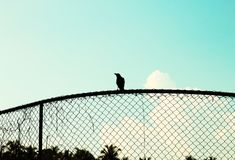 Isolated black crow on a metallic fence. Ari Atoll, Maldives royalty free stock photos