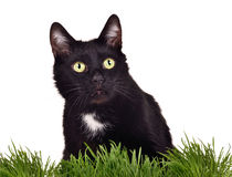 Isolated black green-eyed cat in green grass Royalty Free Stock Images