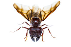 Isolated black queen ant Royalty Free Stock Photography