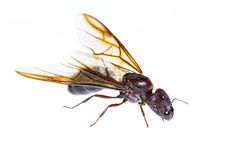 Isolated black queen ant stock image