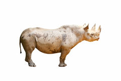Isolated black rhinoceros Royalty Free Stock Photos