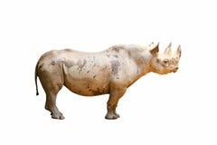 Isolated black rhinoceros Royalty Free Stock Photos