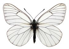 Isolated black veined butterfly Stock Photos