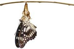 Isolated Black-veined sergeant butterfly & x28; Athyma ranga & x29; emergi Stock Images