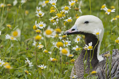 Isolated black and white goose on daisy background. Isolated black and white goose on daisy and grass background stock photography