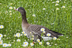 Isolated black and white goose on daisy background. Isolated black and white goose n royalty free stock photography