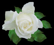 Isolated on black white rose with small green leaves Stock Photography