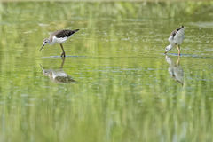 Isolated  black-winged stilt looking at you Stock Photo