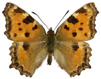 Isolated Blackleg Tortoiseshel butterfly Royalty Free Stock Photography