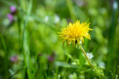 Isolated blooming dandelion flower Stock Images