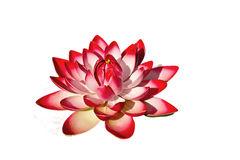 Isolated blooming lotus Royalty Free Stock Photography