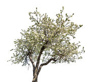 Isolated blooming old apple tree Stock Photo
