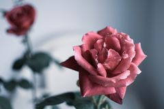 Isolated blooming rose flower Stock Photos