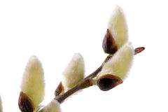 Isolated blooming willow catkin Stock Photography
