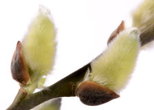 Isolated blooming willow catkin Royalty Free Stock Photo
