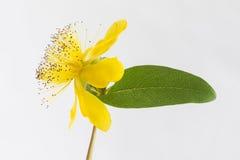 Isolated blossom of a hypericum flower Stock Photos