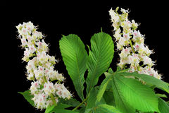 Isolated Blossoming chestnut Stock Images