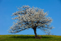 Isolated blossoming tree Stock Image