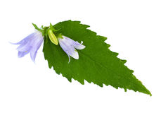 Isolated blue bell Stock Photo
