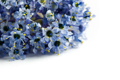 Isolated blue ceanothus flowers Royalty Free Stock Photos