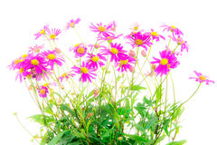 Isolated blue dasy flower. (Brachyscome Multifida Magenta Delight stock photography